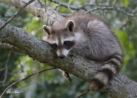 what to do if a raccoon is in your backyard baby raccoon by dgander on deviantart
