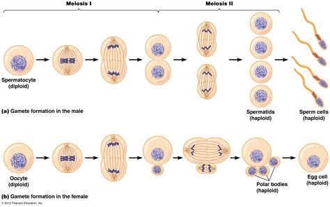 Cal Poly BIO 502: Can You Hear Your Biological Clock Ticking? Meiosis Stages