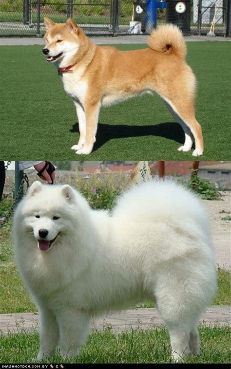 samoyed puppies michigan japanese akita vs samoyed