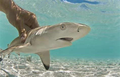 shark puppy forget about a puppy i want a black tip reef shark pup i look at him he is