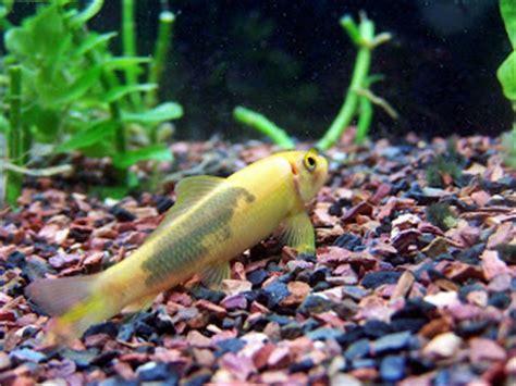 Makanan Ikan Hias Lemon ikan pembersih aquascape akuarium ikan hias