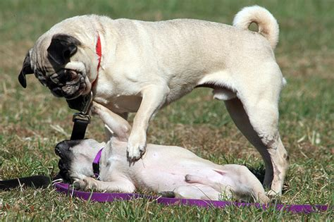 colorado pugs pugs exercise www pugs co uk