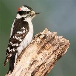 downy woodpecker wikiwand