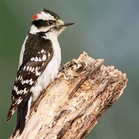 downy woodpecker wikipedia