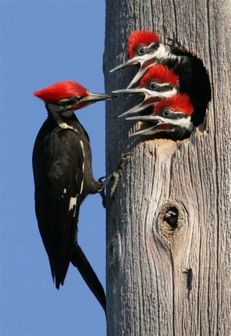 1000 images about woodpeckers on pinterest minnesota