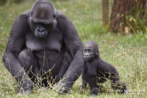 Gorilla by Gorille Zoo De La Palmyre
