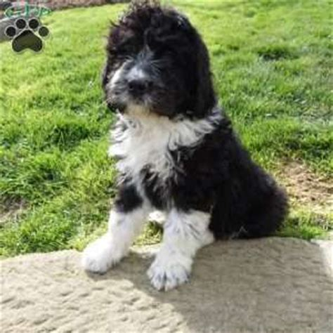 newfypoo puppies for sale ohio newfypoo puppies for sale in pa