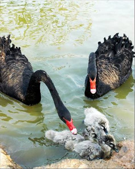 black swan and babies people s daily online baby black swans