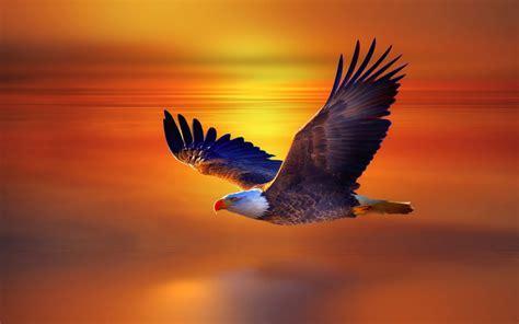 hd wallpapers free high definition desktop backgrounds eagle flying widescreen high definition desktop