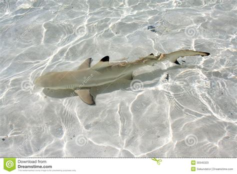 baby shark unlimited blacktip reef shark stock image image of sharks maldives