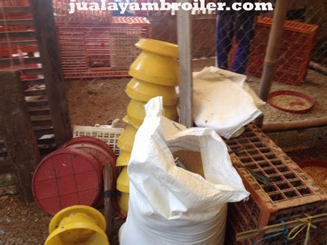 Jual Bibit Ayam Broiler Di Bogor jual ayam broiler di dramaga bogor jual ayam broiler