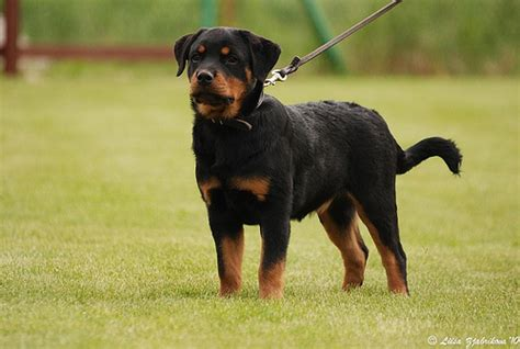 4 month rottweiler 4 months rottweiler puppy flickr photo