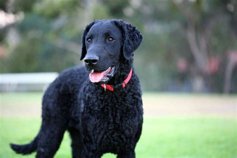 curly haired golden retriever 7 facts about the curly coated retriever american kennel club
