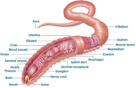 earthworm parts and what they do excretion in earthworm
