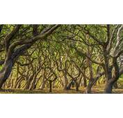 Oak Trees In Palo Corona Regional Park Carmel Valley California