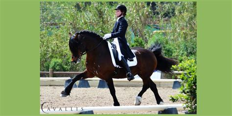 welsh section d society section d welsh cob