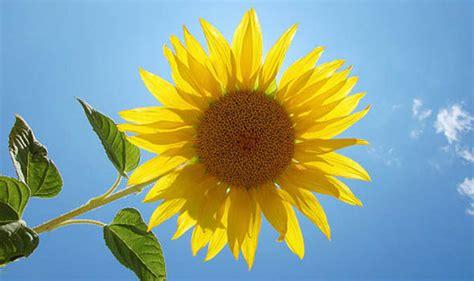 top tips  growing sunflowers garden
