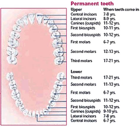 ages when baby teeth come in and fall out baby canadian dental association