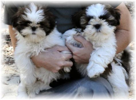 black and white shih tzu puppies for sale ga shih tzu shih tzu puppies for sale in fl al tn sc nc atl jax birm talla
