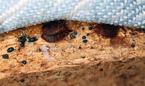 Bettwanzen Finden by Merkmale Bettwanzen Erkennen Anticimex