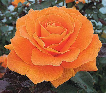 information about rose farming vavoom white flower farm facts common name floribunda hardiness zone 5 9 s