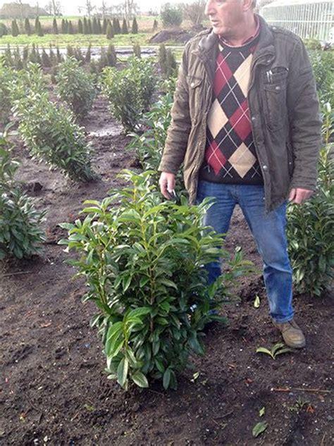 kirschlorbeer hecke welche sorte neue heckenpflanzen bilder kirschlorbeer prunus