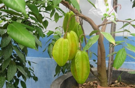 gallery  pohon belimbing