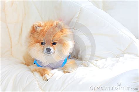 pomeranian wearing clothes pomeranian grooming wear clothes on bed stock photo image 39893805