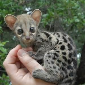 Exotic pets exotic pet the genet