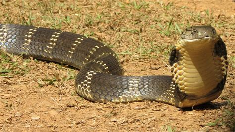 king cobra images indian king cobra www pixshark images galleries