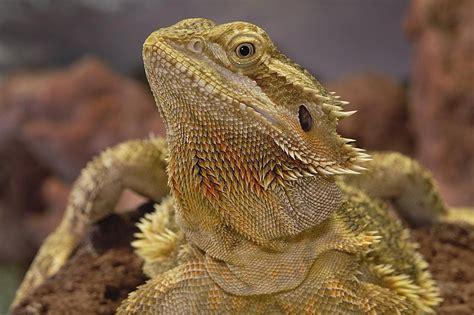 how often do bearded dragons go to the bathroom bearded dragon glass surfing