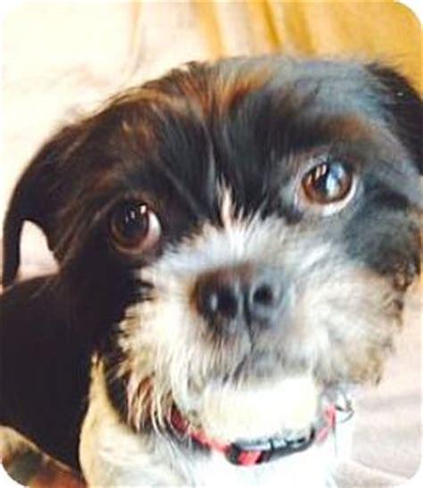 shih tzu rescue atlanta ga atlanta ga shih tzu boston terrier mix meet levi a for adoption