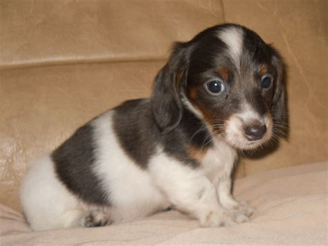 puppies florida dachshund puppies for sale cheap breeds picture