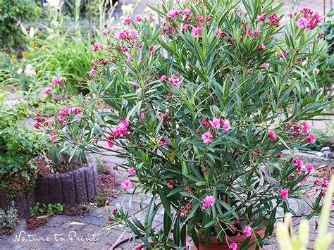 Oleander Im Garten Pflanzen 4461 by Oleander Pflegen Durchs Ganze Jahr Und Mit Stecklingen