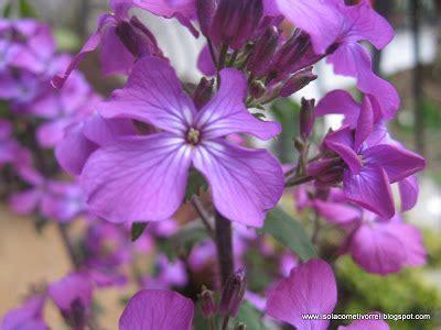 fiori attinomorfi medaglie papa lunaria annua