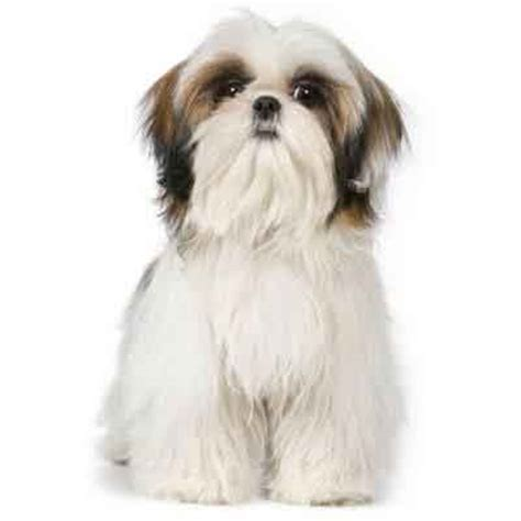 different shih tzu cuts 7 shih tzu haircuts petcarerx