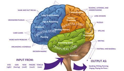 the brain sections parts of the brain and their functions samaa moussalli