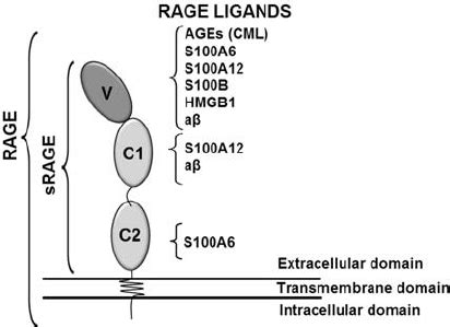 pattern recognition receptor rage rage ligands bind to different sites of srage as a