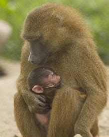 baboon genome project bcm hgsc