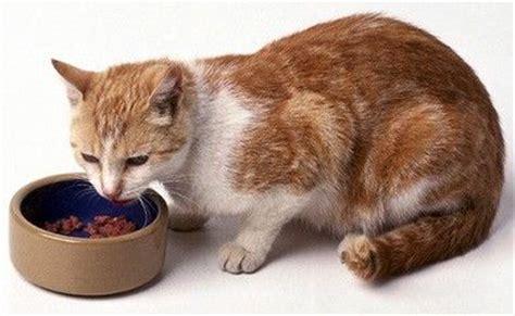 alimentazione gatto adulto l alimentazione di un gatto adulto 100caniegatti