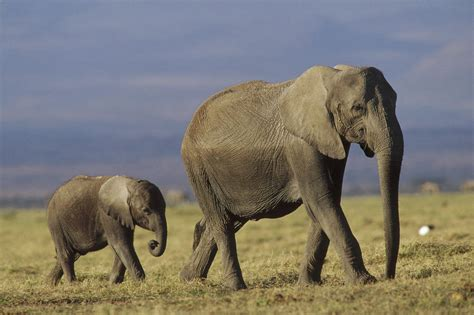 Home Decor Blogs In Kenya by African Elephant Mother Leading Calf Photograph By Tim