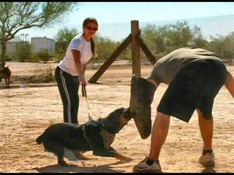 protection trained rottweilers rottweiler protection