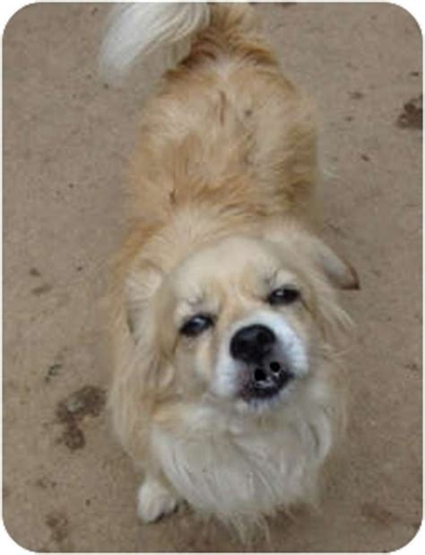 pomeranian and lhasa apso mix willow is as as a button adopted leesport pa pomeranian lhasa apso mix