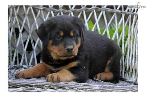 puppy rottweiler for sale near me rottweiler puppy for sale near lancaster pennsylvania 80cac734 5da1