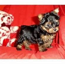 tiny teacup yorkies adoption 25 best ideas about yorkie puppies for adoption on teacup pomeranian