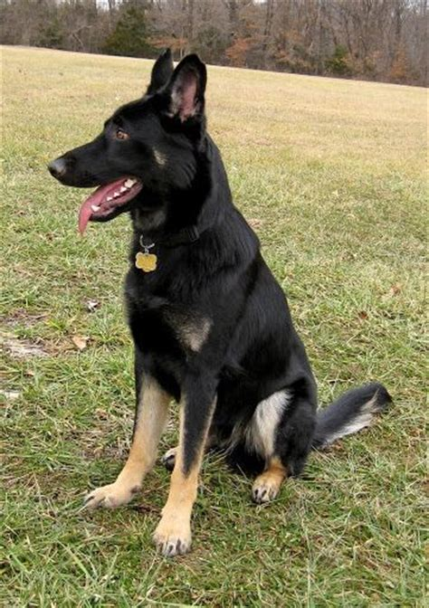 american german shepherd best 25 american german shepherd ideas on white german shepherds puppy