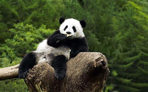 wallpaper panda panda bear wallpapers wallpaper cave