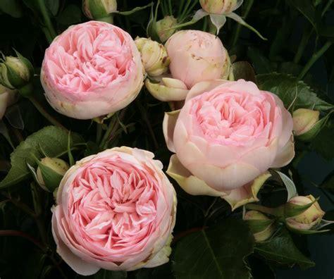 Garden Roses by Garden Bridal Piano Lt