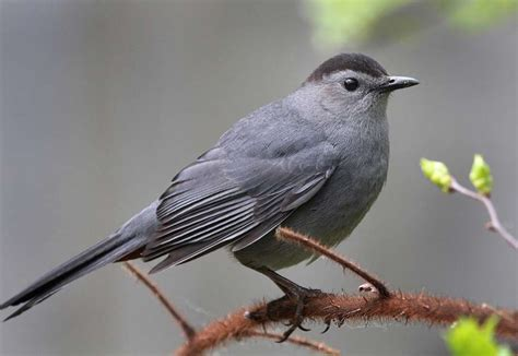 for the birds summer s the time for catbirds to shine