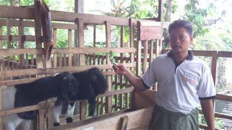 kisah sukses peternak kambing kisah sukses peternak kambing pe meraih pundi pundi rupiah